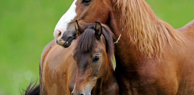 Konie
