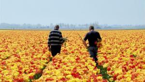 Zbiór tulipanów w Holandii Fot. Shutterstock