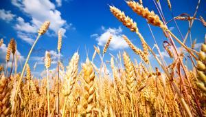 zboże, pszenica